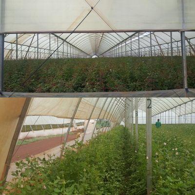 Huge rose farm.jpeg